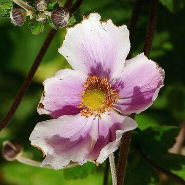 A wonderful flower in the light - Une Fleur merveilleuse dans la Lumière 1 par Olavia&Olao et Okaio Créations by caillaudolivier