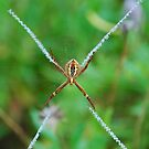 X Spider Sydney Australia by Kamran Baig