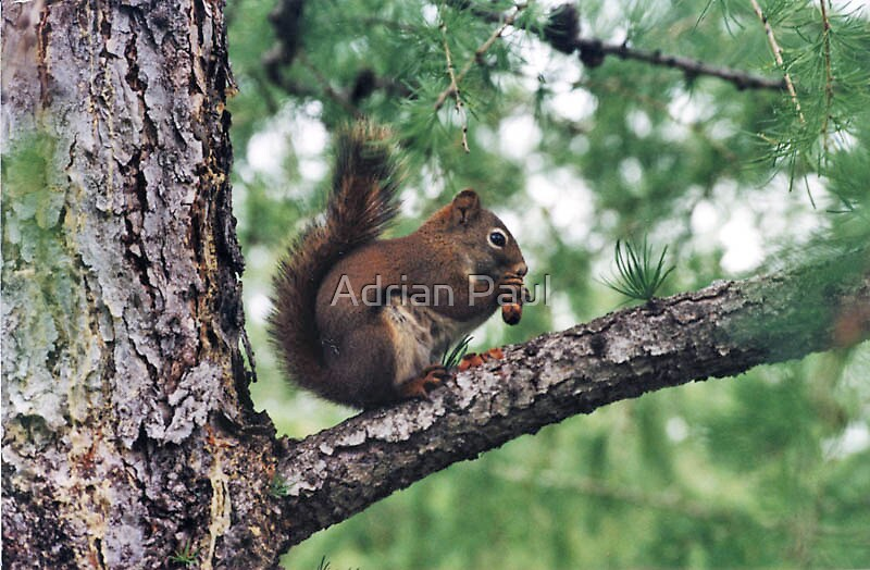 Quot Squirrel Magic Edmonton Alberta Canada Quot By Adrian Paul