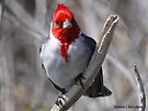 Red Crested Cardinal by Dennis Cheeseman