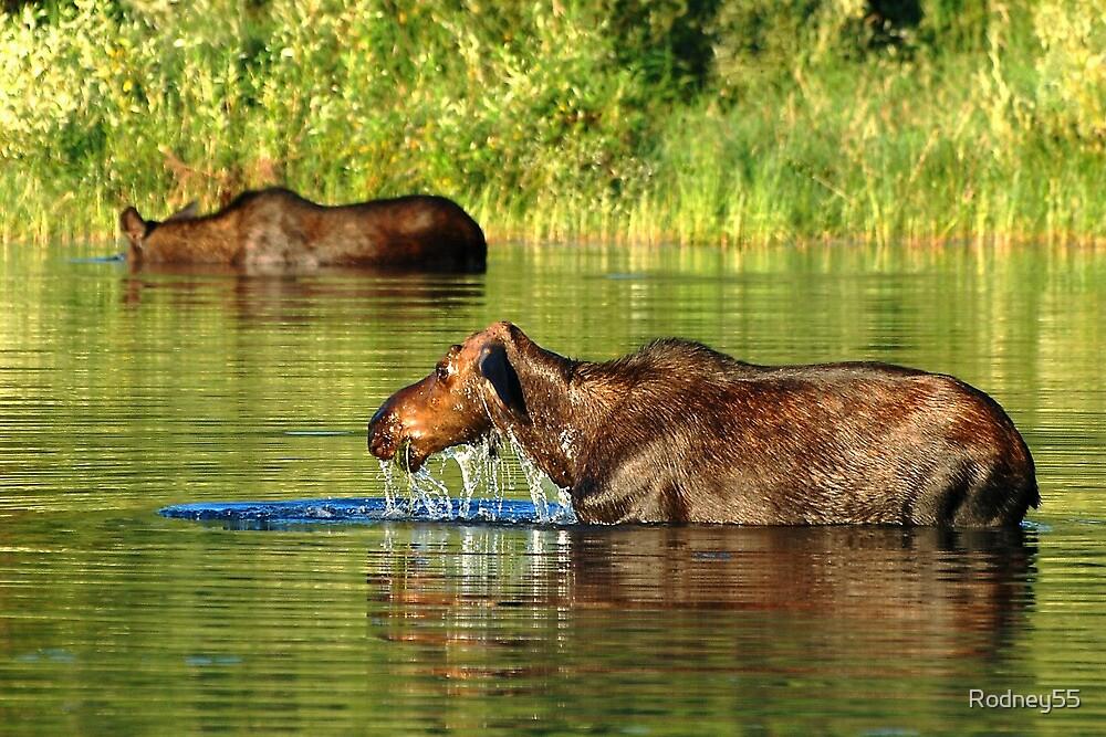 moose lunch buffet  by Rodney55