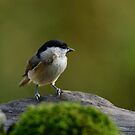 Marsh tit, Oasi WWF Lago di Alviano, Umbria, Italy by Andrew Jones