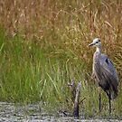 Blue Heron by debfaraday