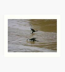 Pied Cormorants Art Print