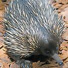 Echidna, Queensland, Australia by Adrian Paul