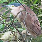 Rufous (Nankeen) Night Heron, Queensland, Australia by Adrian Paul