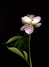 Pale Pink Peony by Barbara Wyeth