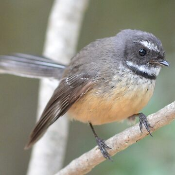 Macleans Fantail by lizdomett