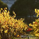 Ibis in the Vines ..........Magpie Springs - Adelaide Hills Wine Region South Australia by MagpieSprings