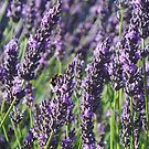 French lavender by Something-Cosy