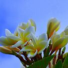 Frangipani branch  by Virginia McGowan