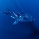 Whale Shark, Ningaloo, Western Australia by Erik Schlogl