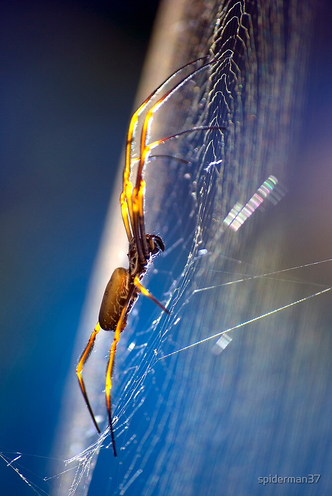 golden orb spider, glowing in the sun by spiderman37