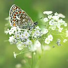 Butterfly on Babybreath by Morag Bates