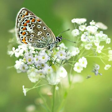 Butterfly on Babybreath by MoragBates
