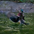 Exercising Wood Duck by TJ Baccari Photography