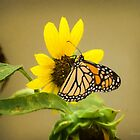 Monarch on Sunflower by louise reeves