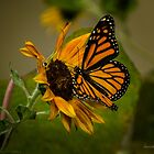 Monarch on Sunflower 2 by louise reeves
