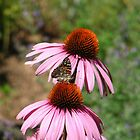 Butterfly on Cone Flower by David Shaw