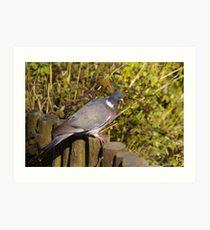 Wood Pigeon Art Print