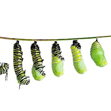 monarch caterpillar  in various stages of shedding until the skin falls away and a chrysalis  to take shape by svetlanna