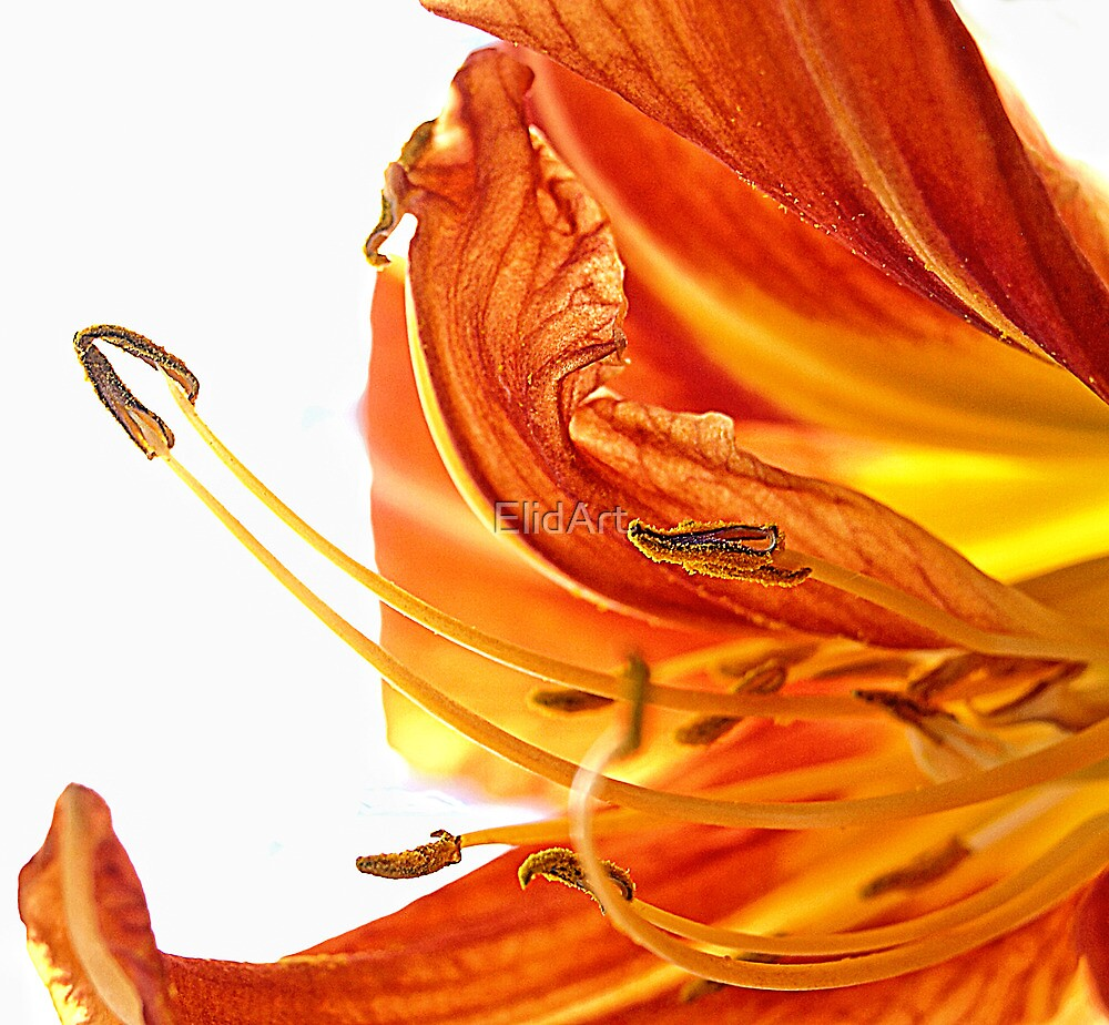 Lily Details by ElidArt