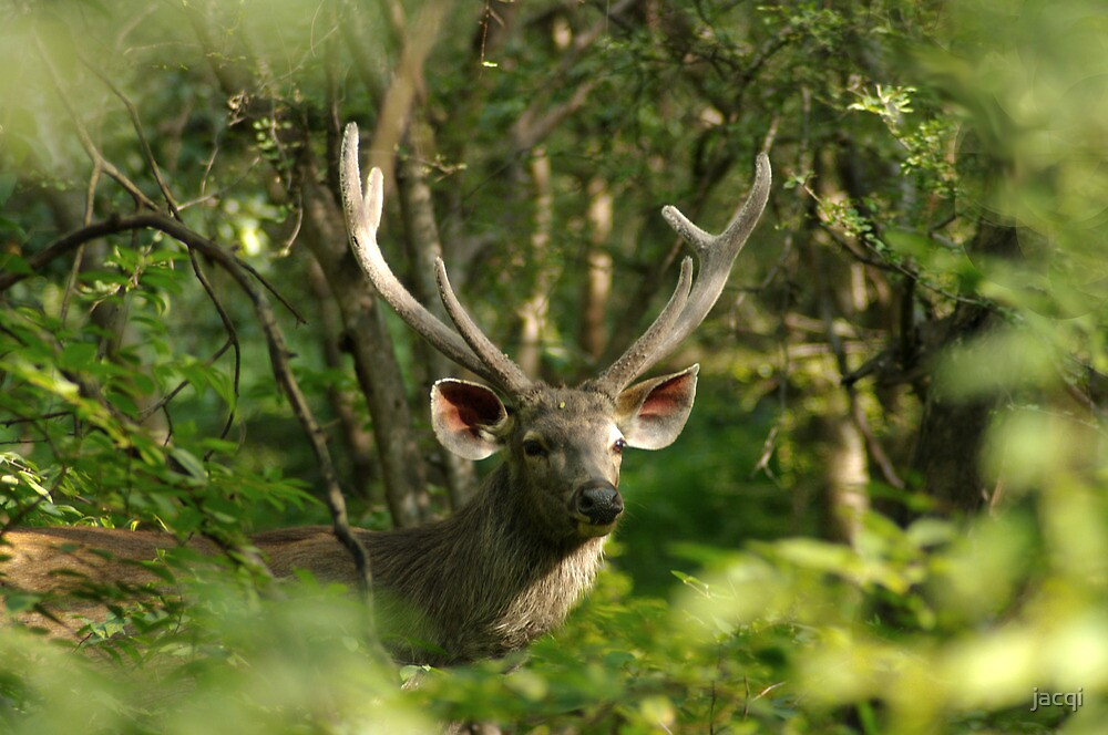 Sambar Deer Stag by jacqi