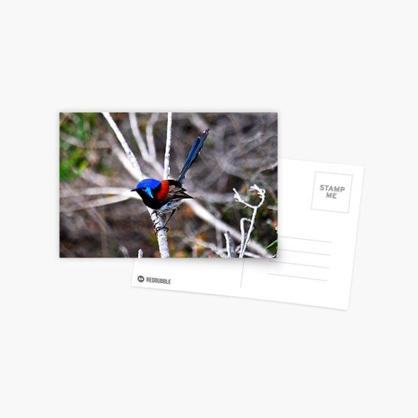 Variegated fairy-wren Postcard