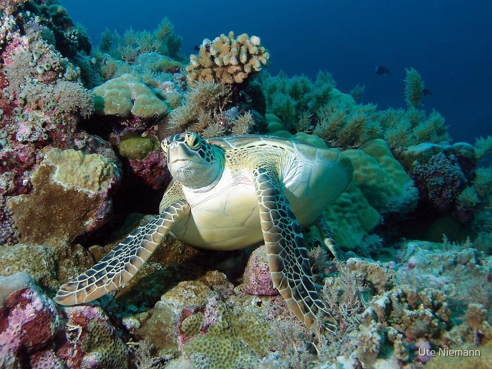 Sea turtle   Break on the way    by Ute Niemann