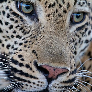 Leopard close up by Mytmoss