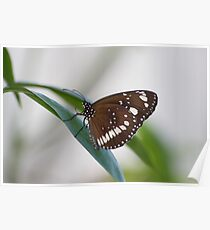 Common Crow Butterfly II Poster