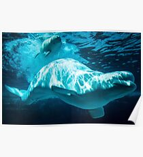 Mother and Baby Beluga Whales Poster