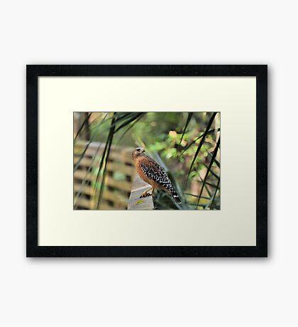 Red Shoulder Hawk Framed Print