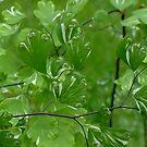Maidenhair Fern  - Adiantum raddianum 'Variegata'  by Gabrielle  Lees