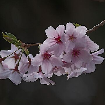 Spring Blossoms by baji