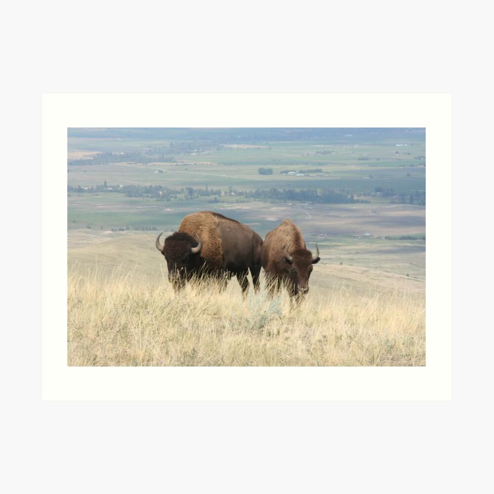 Two bison    Lámina artística