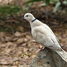 Barbary Dove by Geoffrey Higges