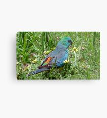 Red-rumped Parrot Metal Print