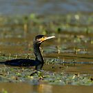 Cormorant swimming on Lago di Alviano, Umbria, Italy by Andrew Jones