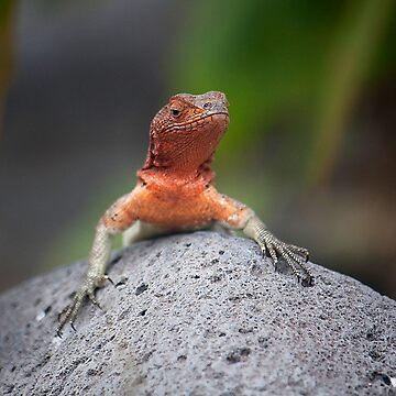 Tropidurus delanonis (Lava lizard) by becks78