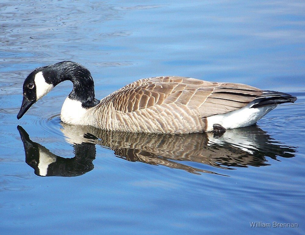 Canada goose admiring his reflection. by William Brennan