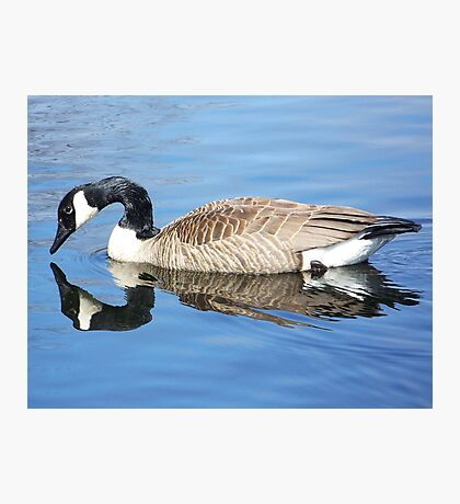 Canada goose admiring his reflection. Photographic Print
