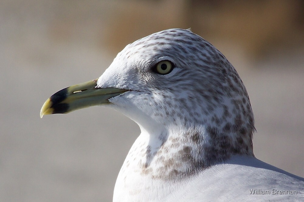 A ring-billed gull giving me the eye. by William Brennan
