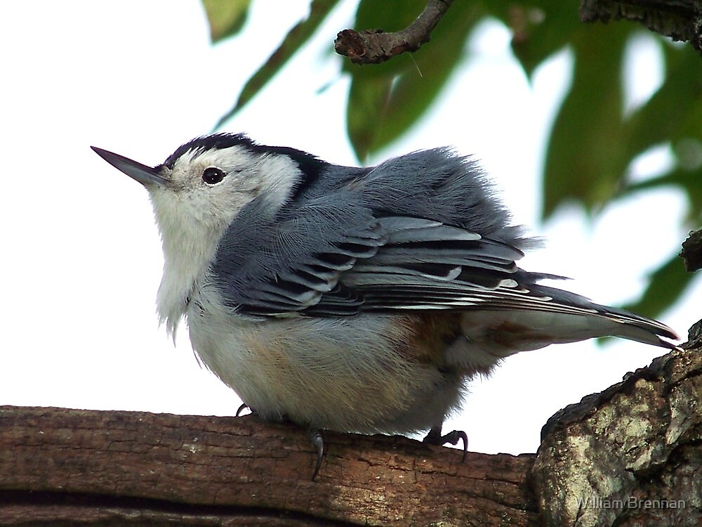 White-breasted nuthatch fluffing his feathers. by William Brennan