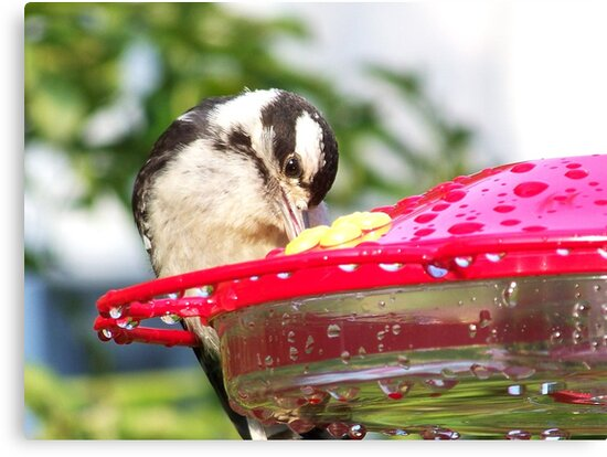 A female Downy Woodpecker stealing some nectar. by William Brennan