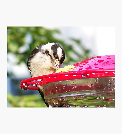 A female Downy Woodpecker stealing some nectar. Photographic Print