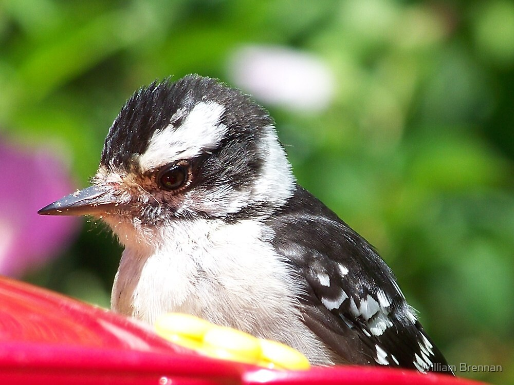 Female Downy Woodpecker fluffing her feathers as I approach. by William Brennan