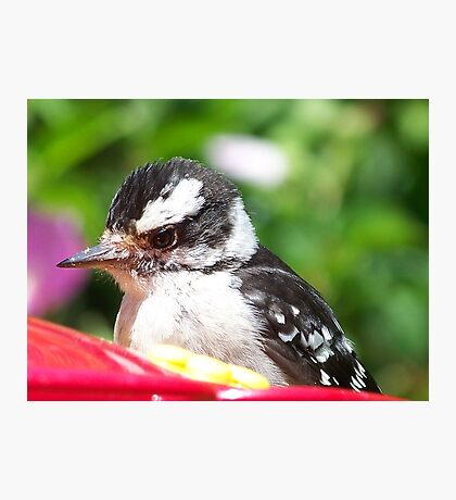 Female Downy Woodpecker fluffing her feathers as I approach. Photographic Print