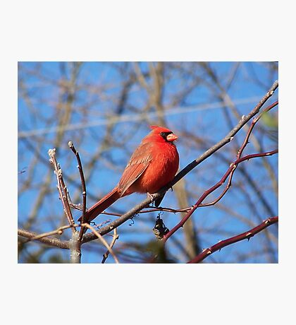 A male Northern Cardinal braving the cold. Photographic Print