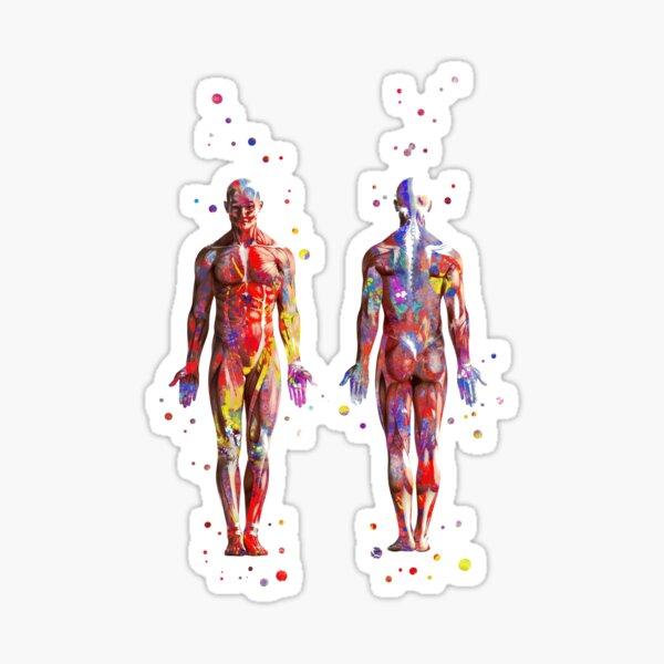 Muscular System, watercolor anatomy art, human muscles, medical art, man body Sticker